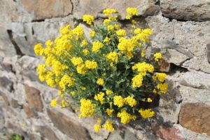 wallflower-728152_640